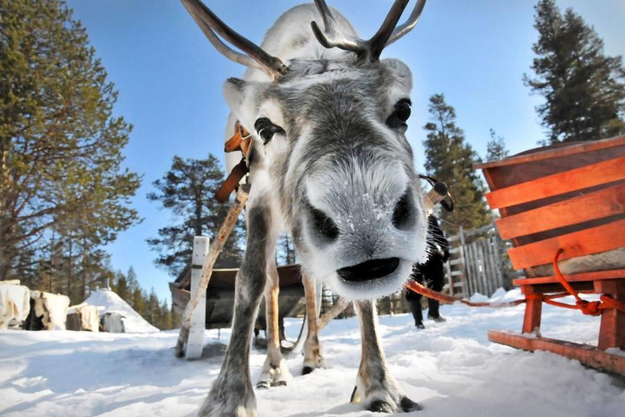 Финны выпустили приложение для слежения за оленями
